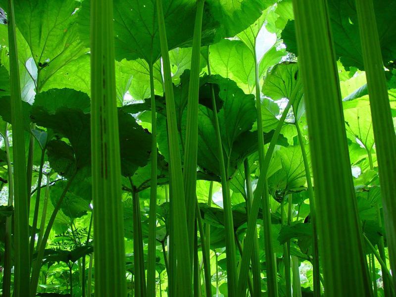 9. Сахалинская область – Салат из стеблей лопуха по-сахалински Сахалинцы воспринимают лопухи также к