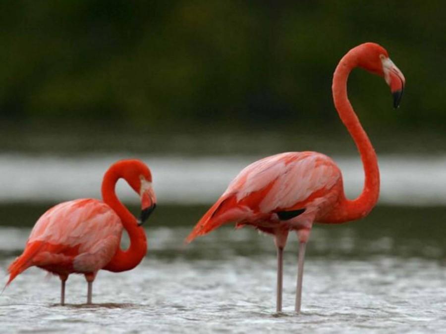 4. На частном курорте на острове Гвана можно полюбоваться многочисленными фламинго.