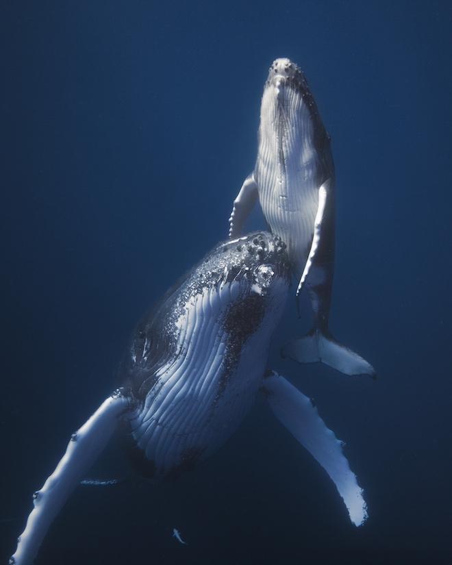 9. Встретив самку кита с детенышами, следует быть особенно осторожным, чтобы не спугнуть их. Лучше в