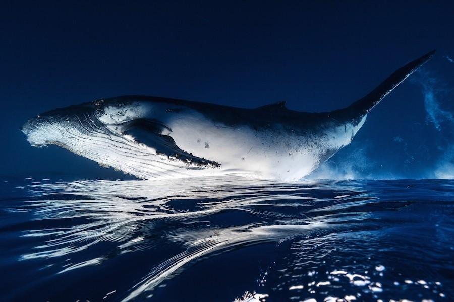 13. Не менее интересная встреча с китом состоялась 9 августа 2014 года. В результате альбом фотограф