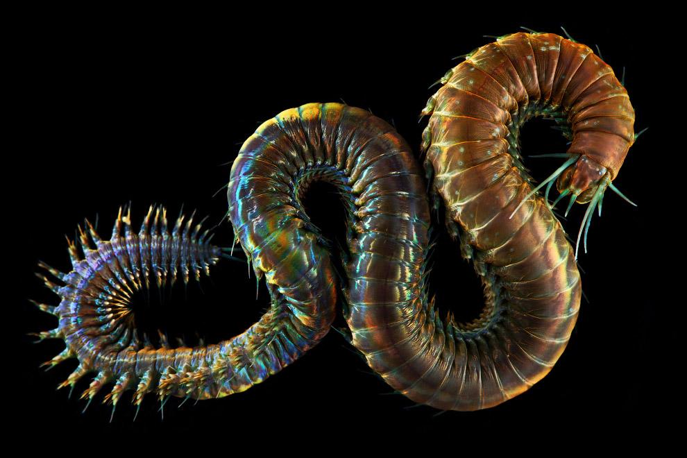 4. Тело медуз в значительной части составлено обводнённой соединительной тканью — мезоглеей — и