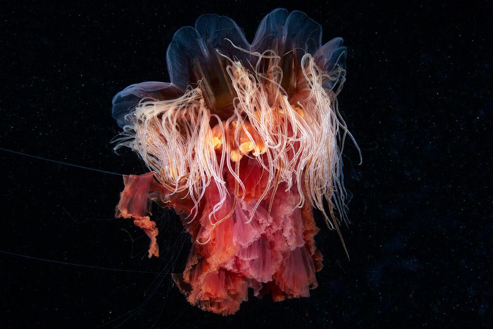 12. Волосистая цианея из отряда дискомедуз. Еще бывает арктическая цианея — самая крупная медуз