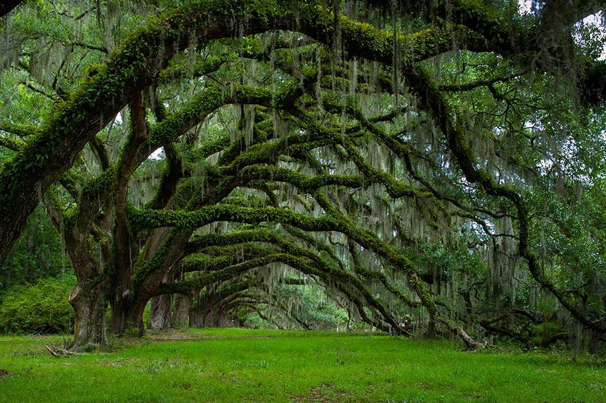 15. Аллея дубов на плантации Дикси в Южной Каролине