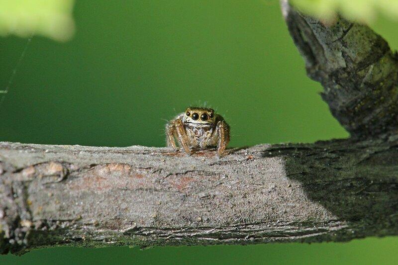 внимательный взгляд - эмоции паука-скакунчика с серой шерсткой, четырьмя большими глазами спереди и короткими лапками