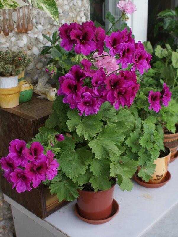 Царская пеларгония. Цветущий куст