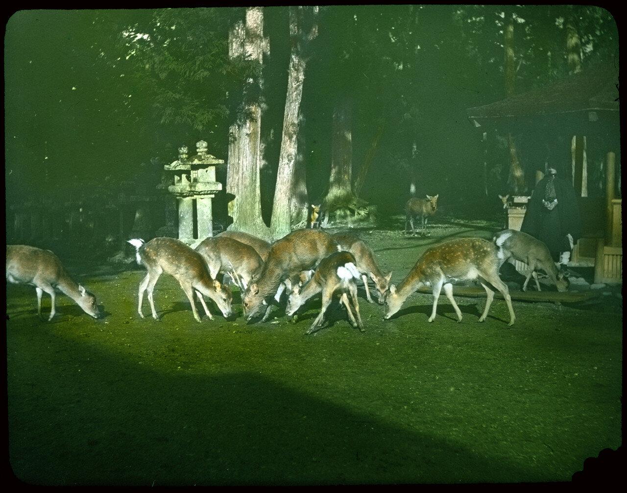 Группа оленей кормится на лужайке возле храма