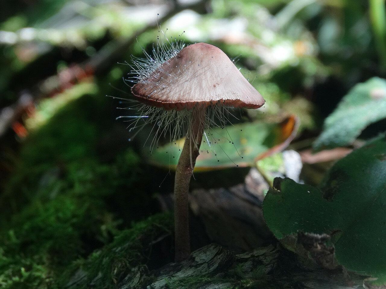 Мицена со спинеллусом щетинистым (Spinellus fusiger). Автор фото: Привалова Марина