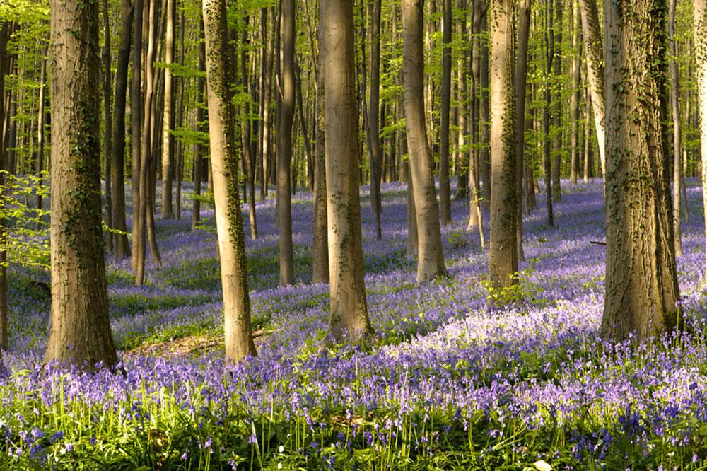 Фотографии Халлербоса   лес синих колокольчиков в Бельгии 0 140af1 311c16a2 orig