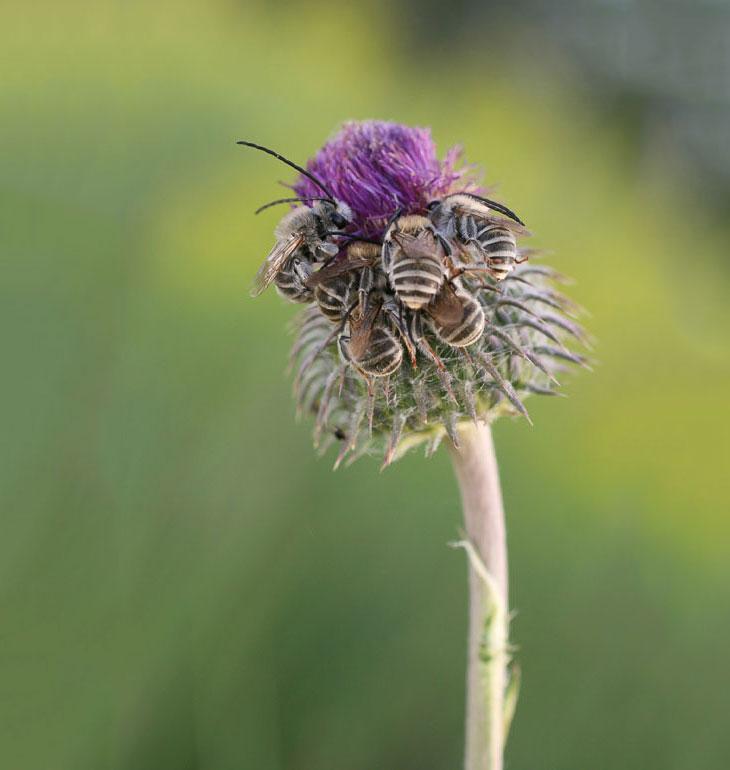 Я часто замечал за длинноусыми пчелами, ведущими одиночный образ жизни, стремление собраться на ночь