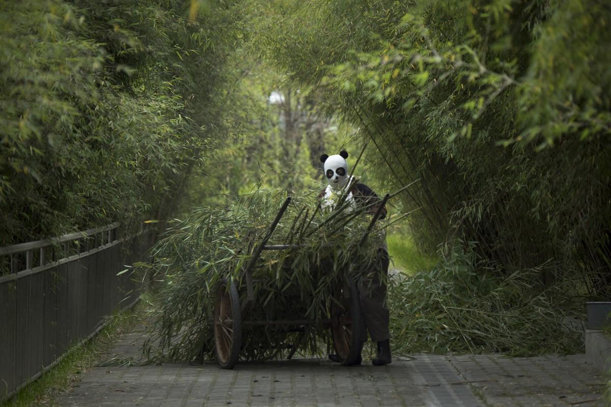 Работник центра везет бамбук пандам, которых готовят к жизни в дикой природе. Смотрители заповедника