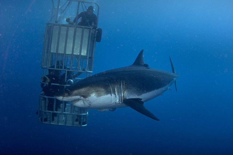 3. Продолжительность жизни белой акулы оценивается приблизительно в 27 лет. (Фото Dmitry Vasyan