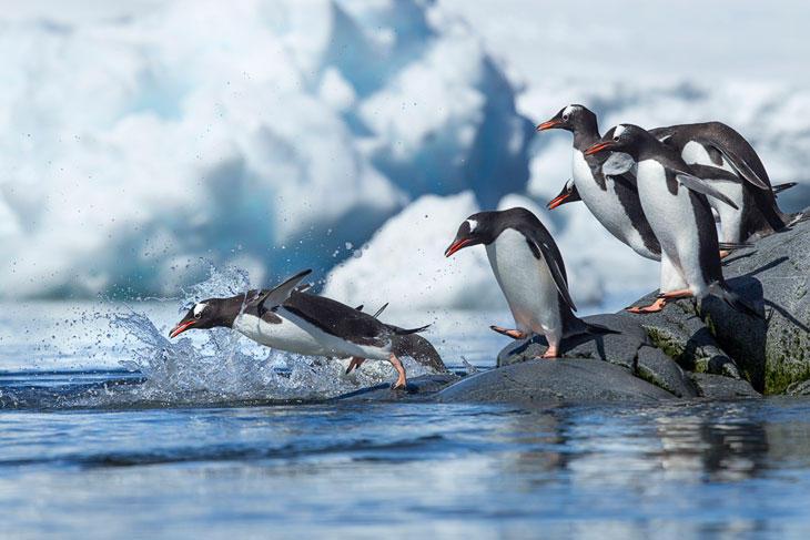 Ученые поведали, почему пингвины нелетают