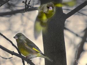 Обыкновенная зеленушка (Carduelis chloris)