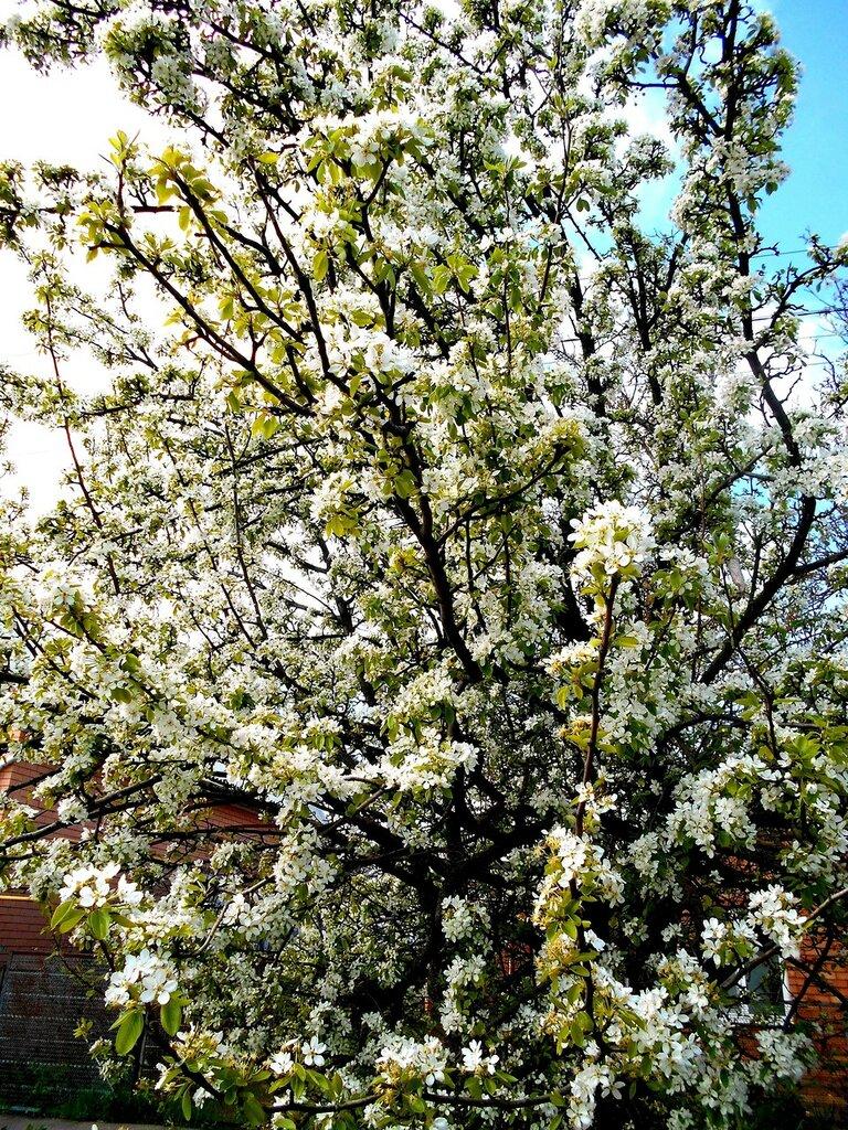 В наряде белом, весеннем ... DSCN5204.JPG