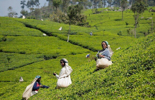 Чайные плантации Шри-Ланки