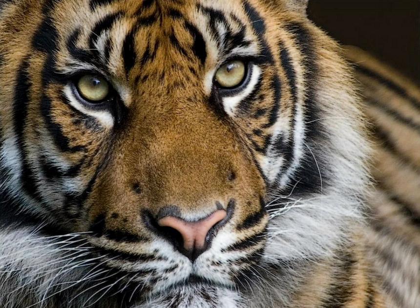 Бесшумной поступью таёжный тигр шагал...