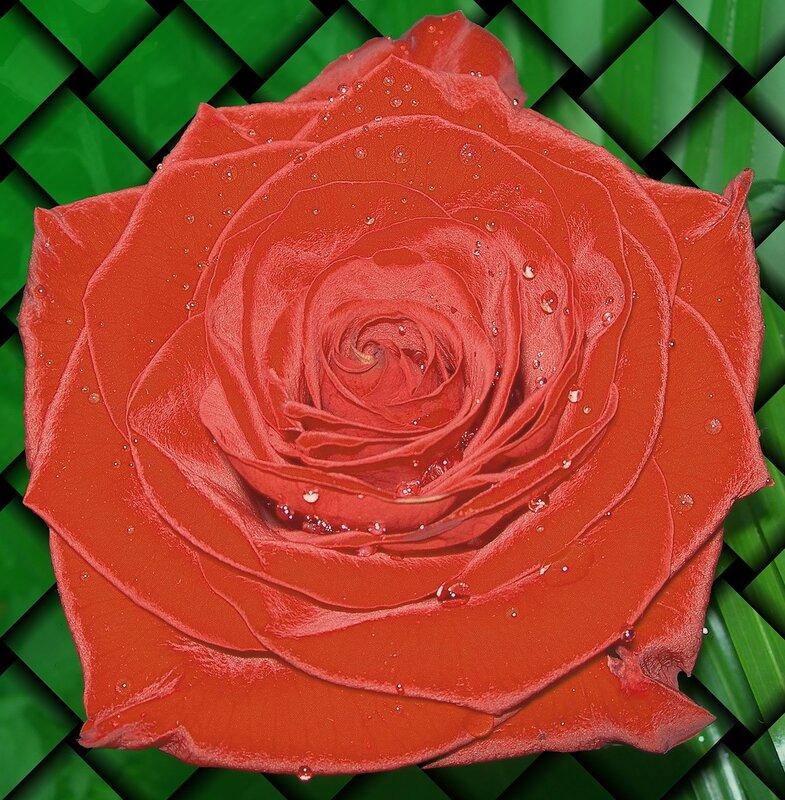 Фотография : Роза для открытки, фотограф Апарышев, день рождения, поздравление, цветок, цветы, юбилей, фотография, фото, flows, фотки.