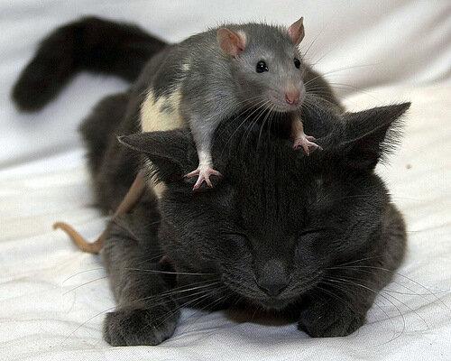 Объясните бедной кисе, почему борзеют крысы