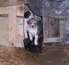 щенки в будке