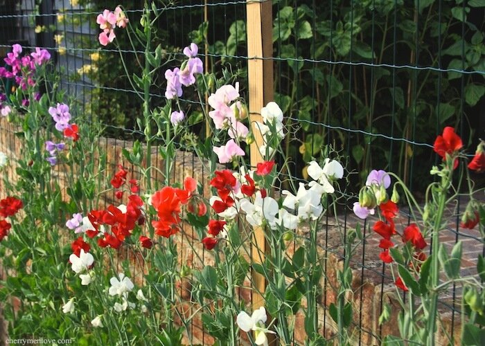 How to grow sweet peas - July 09 - Cherry Menlove