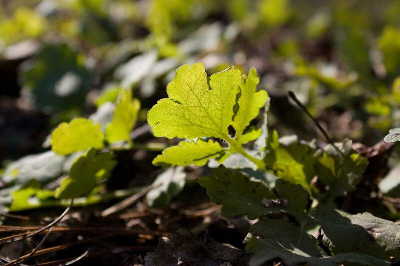 Первый зеленый лист