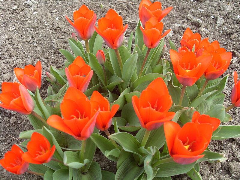 Цветы росли ... Тюльпаны