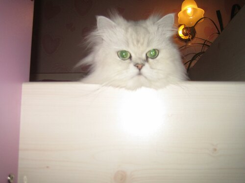 tatshtot — «Чеширский персидский кот» на Яндекс.Фотках