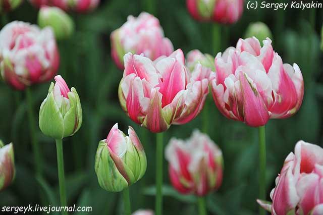 Tulipa Fantasy Lady.JPG