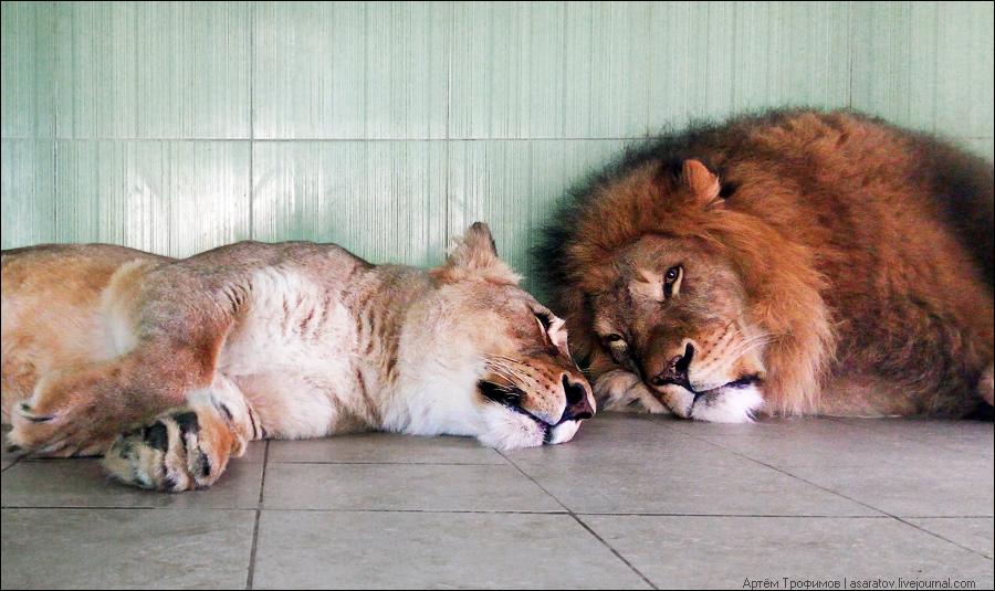 Фотография львов