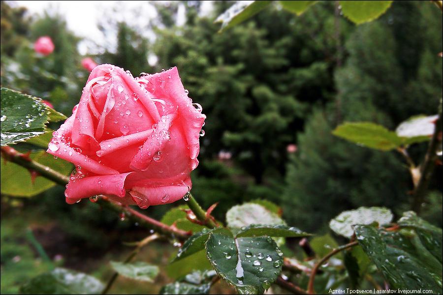 Фотография розы