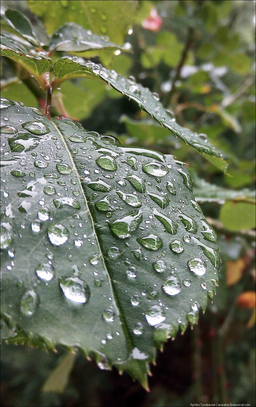 Капли дождя на листе розы
