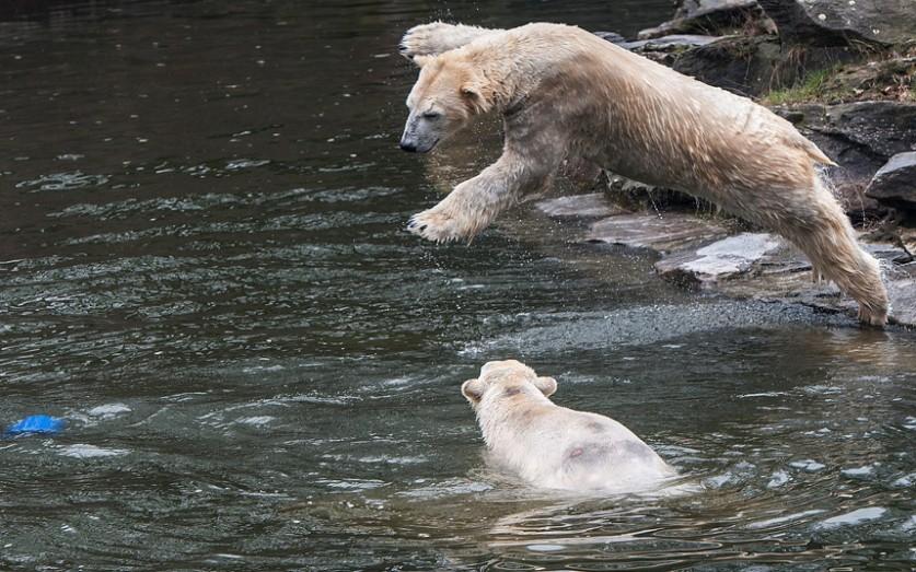 Белый медведь по имени Володя прыгает в водоём, рискуя упасть на медведицу Тоню, в Берлинском зоопар