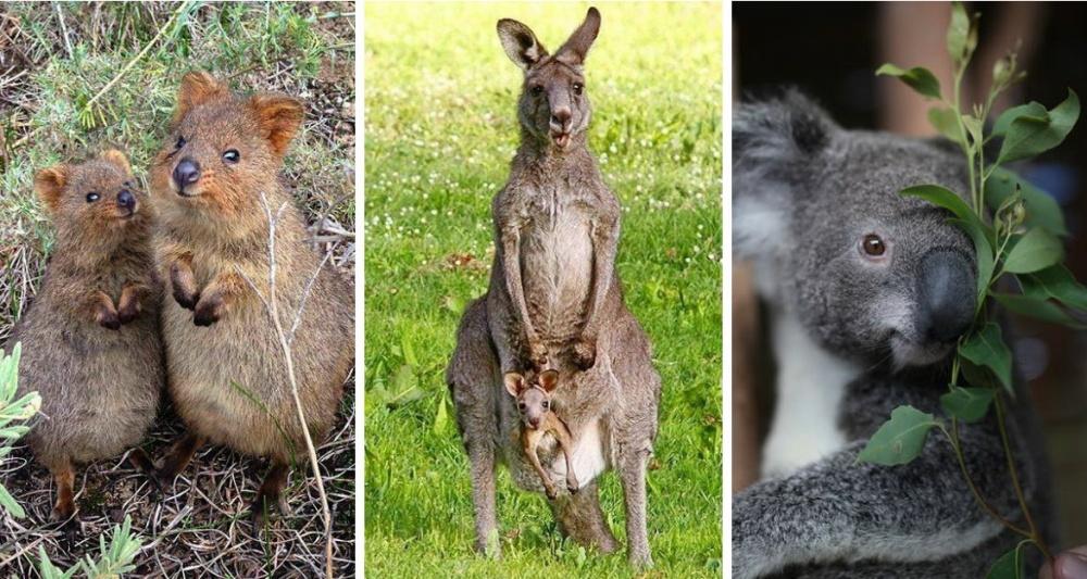 Фауна Австралии неповторима инеобыкновенно разнообразна. Тут обитают более 200 тысяч видов животных