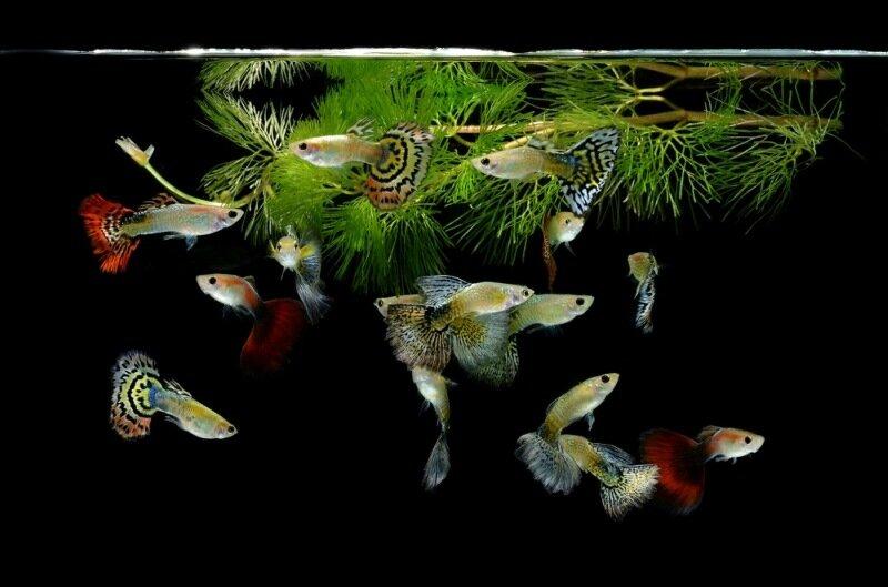 Красота и изящность: 15 потрясающих фотографий аквариумных рыбок
