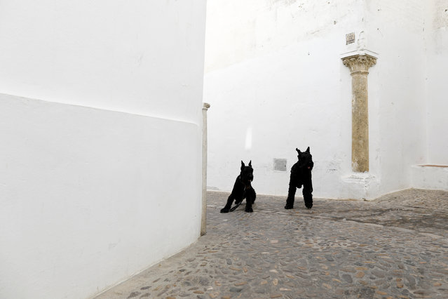 Dogs are seen on a street in the white village of Arcos de la Frontera, southern Spain September 11,