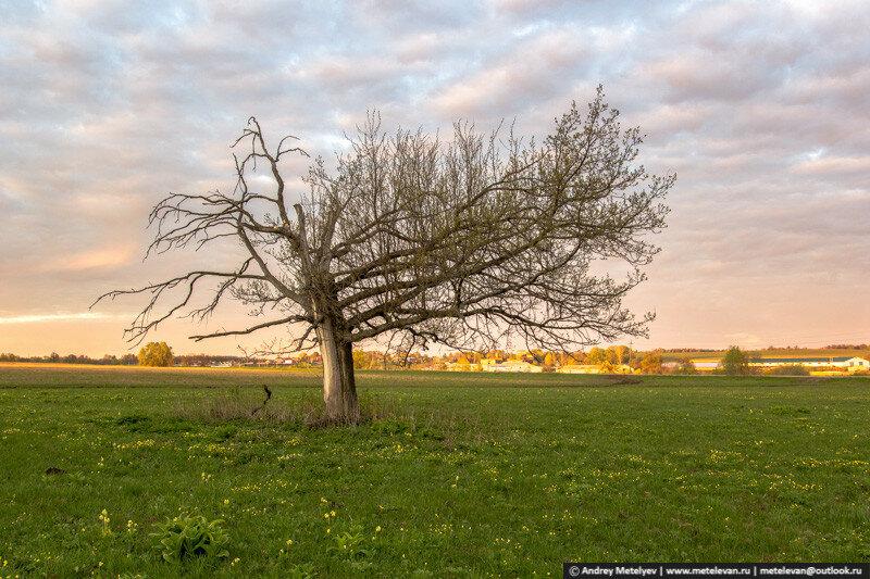 однобокое дерево