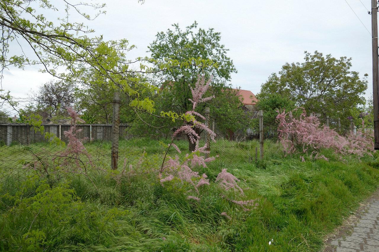неведомые розовые кусты