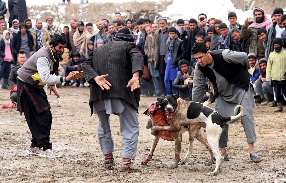 Собачьи бои в Афганистане