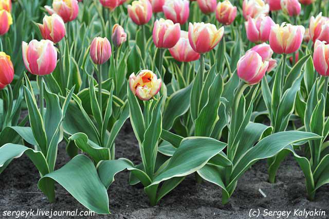 Tulipa Toplips (3).jpg
