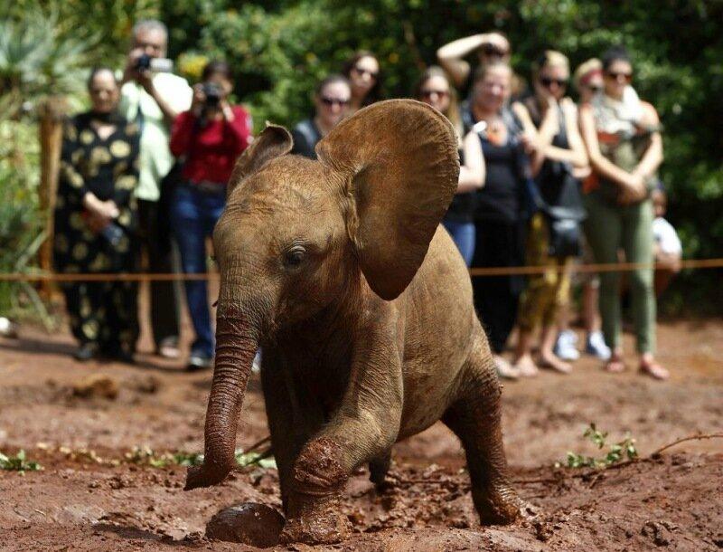 Слоненок сирота в Национальном парке Найроби   печальная и милая история
