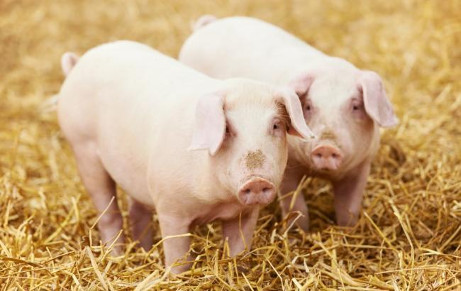 РежимЧС введен из-за африканской чумы свиней вРостовской области
