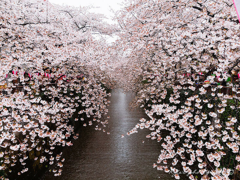 Вишни в цвету