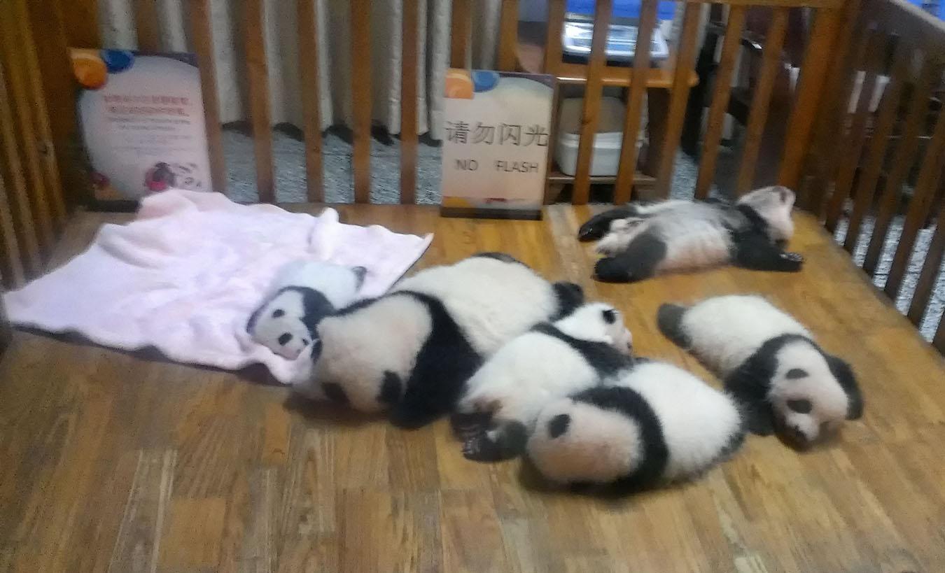 Панды в Чэнду. Поездка по Китаю. Отзывы туристов.