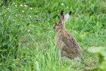 Заяц-русак.
