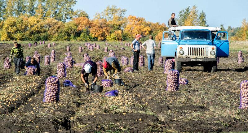 Уборка урожая картошки на поле