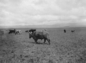 Долина реки Текес. Калмыцкий скот на пастбище в южной части долины
