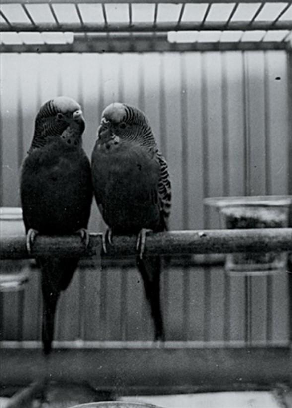1935. Попугайчики