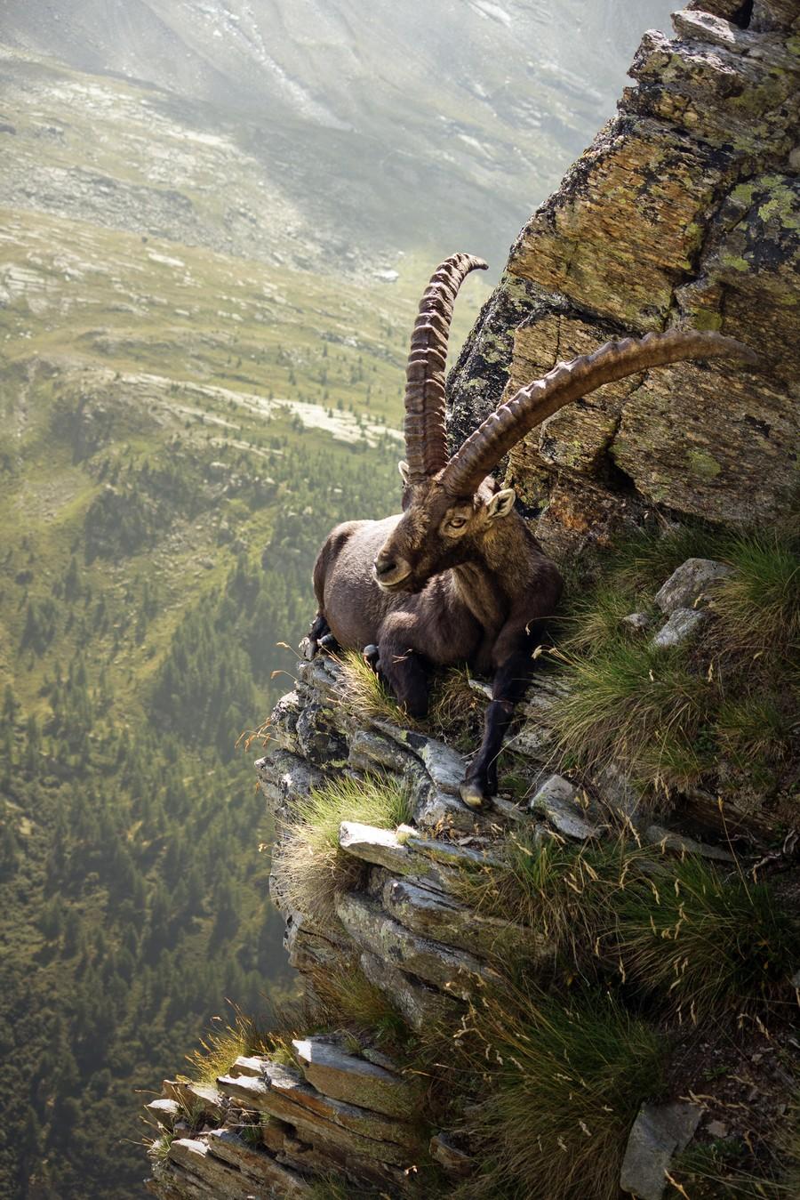 Goat on cliff edge illusion / Goat on cliff edge illusion /1199384