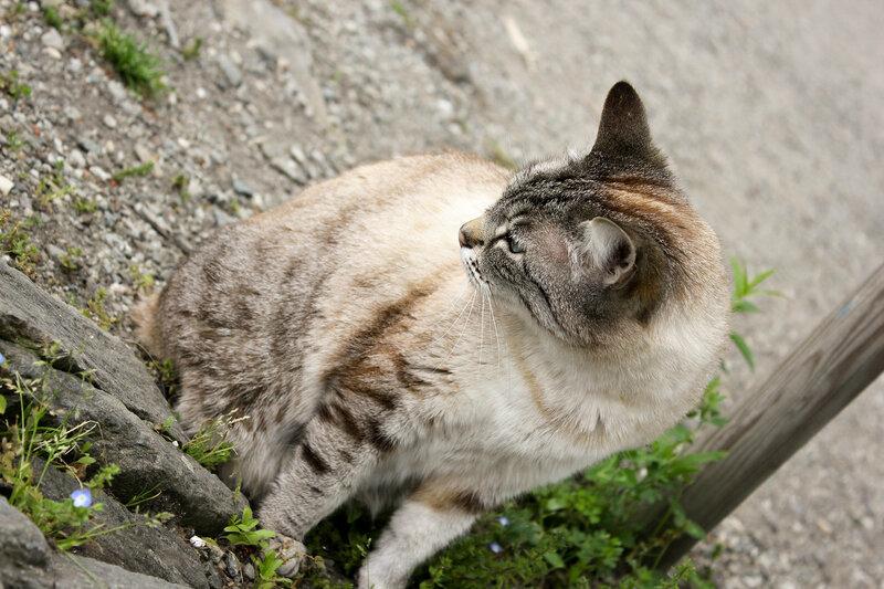 Островная кошка