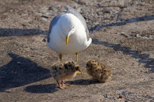 Чайкины детки